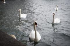 Лебедь на воде близкий взгляд, Цюрих Швейцария Стоковые Изображения