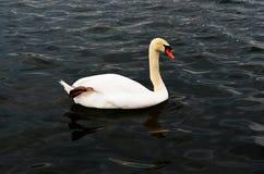 Лебедь на воде Стоковое Фото