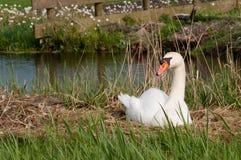 Лебедь на гнезде Стоковые Фото