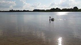 Лебедь на замедленном движении озера видеоматериал