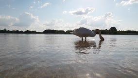 Лебедь на замедленном движении озера акции видеоматериалы