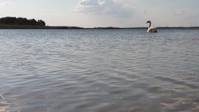 Лебедь на замедленном движении озера сток-видео