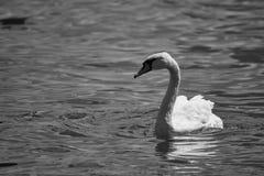 Лебедь на озере стоковые изображения rf