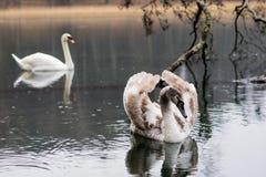 Лебедь на озере на дождливый день Плавая птицы на ` s su озера Стоковые Фотографии RF
