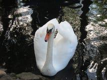 Лебедь на озере Стоковое Изображение RF
