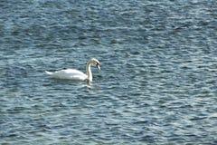 Лебедь на открытом море в солнечном дне Стоковые Изображения RF