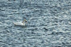 Лебедь на открытом море в солнечном дне Стоковая Фотография
