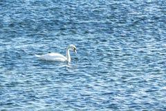 Лебедь на открытом море в солнечном дне Стоковые Фотографии RF