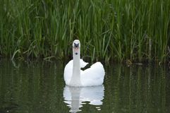 Лебедь на пруде, ослабляя в солнечном дне Стоковые Фотографии RF