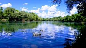 Лебедь на реке стоковые фотографии rf