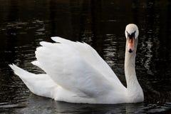 лебедь на тихом озере осени Сезон и озеро осени с лебедем Стоковое фото RF