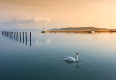 лебедь озера Стоковое Фото