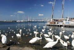 лебедь озера Стоковое Изображение RF