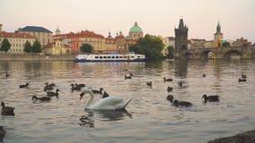 Лебедь около Карлова моста акции видеоматериалы