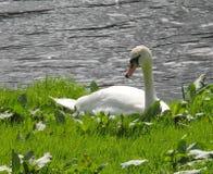 Лебедь, отдыхая, речной берег, солнечный день стоковое изображение