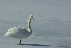 лебедь отражений Стоковое Фото