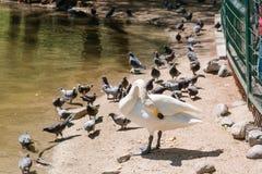 Лебедь очищает пер лебедь на берег Стоковые Фотографии RF