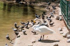 Лебедь очищает пер лебедь на берег Стоковое Изображение RF