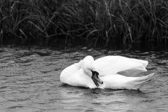 Лебедь очищая его белые пер на воде b Стоковые Фото