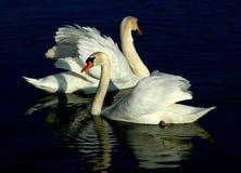 лебедь пар Стоковые Изображения RF