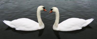 лебедь пар Стоковые Изображения