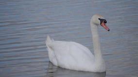 Лебедь плавает к пруду, наблюдает окрестностями акции видеоматериалы