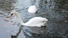 Лебедь плавая на озеро сток-видео