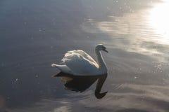 Лебедь, подсвеченный в свете утра Стоковая Фотография RF