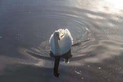 Лебедь, подсвеченный в свете утра Стоковое Изображение