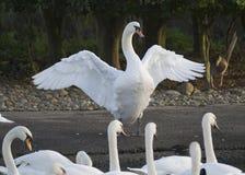 Лебедь показывая  Стоковое фото RF