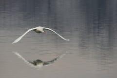лебедь полета Стоковое Фото