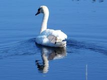 Лебедь полоща через воды Стоковое Изображение