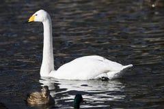 Лебедь поплавал в холодном озере Стоковое фото RF