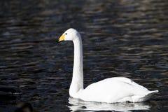 Лебедь поплавал в холодном озере Стоковое Изображение RF