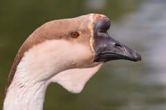 лебедь портрета гусыни стоковое фото