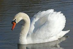 лебедь портрета Стоковое фото RF