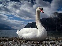 лебедь портрета Стоковые Изображения