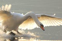 лебедь посадки Стоковая Фотография