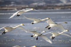 Лебедь приземленный на замороженное озеро Стоковая Фотография RF