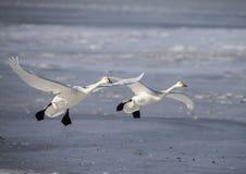 Лебедь приземленный на замороженное озеро Стоковое Фото