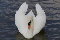 Лебедь пропуская на реке thr, Великобритании Стоковые Изображения RF