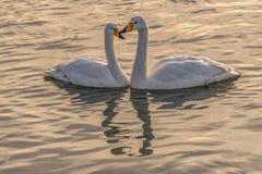 Лебедь, птица, фото стоковая фотография