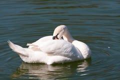 лебедь птицы Стоковое Изображение
