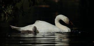 лебедь родителей малышей безгласный Стоковая Фотография