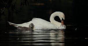 лебедь родителей малышей безгласный Стоковые Фотографии RF