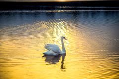 Лебедь самостоятельно на заходе солнца в озере стоковое фото rf