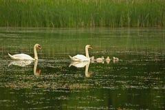 лебедь семьи Стоковая Фотография