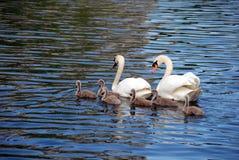 лебедь семьи Стоковые Фотографии RF