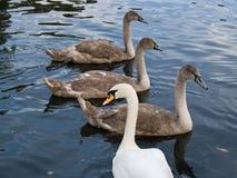 лебедь семьи Стоковая Фотография RF