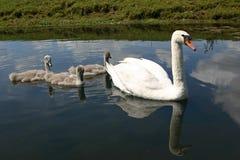 лебедь семьи Стоковое Фото